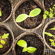 Seedlings Growing In Peat Moss Pots Print by Elena Elisseeva
