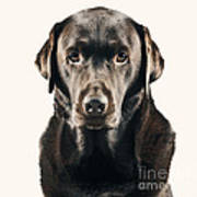 Serious Chocolate Labrador Print by Justin Paget