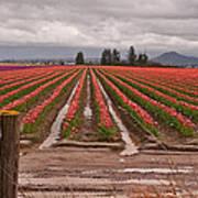 Skagit Valley Tulip Farmlands In Spring Storm Print by Valerie Garner