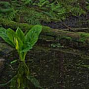 Skunk Weed Cabbage In The Pond Print by Paul W Sharpe Aka Wizard of Wonders