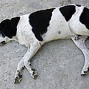 Sleeping Dog Lying On The Ground Print by Matthias Hauser