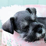 Sleeping Mini Schnauzer Print by Stephanie Frey