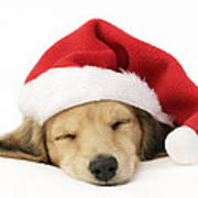 Sleeping Santa Puppy Print by Greg Cuddiford