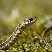 Snake Encounter Close-up Print by Christina Rollo