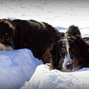Snow Eaters Print by Patti Whitten