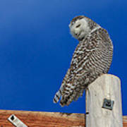 Snowy Owl Print by Everet Regal