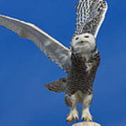 Snowy Owl Taking Flight Print by Everet Regal