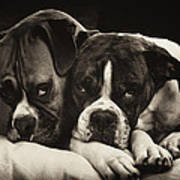 Snuggle Bug Boxer Dogs Print by Stephanie McDowell