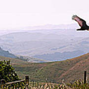 Soaring Over California - Condor In Morro Bay Coastal Hills Print by Artist and Photographer Laura Wrede