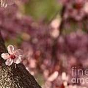 Solo In The Blossom Chorus Print by Jennifer Apffel