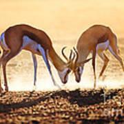 Springbok Dual In Dust Print by Johan Swanepoel