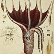 Squid Print by A Chazal