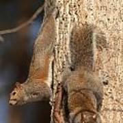 Squirrels Print by Eric Abernethy