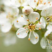 St Lucie Cherry Blossom Print by Anne Gilbert