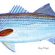 Striped Bass Print by Carey Chen