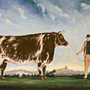 Study Of A Shorthorn Print by William Joseph Shayer