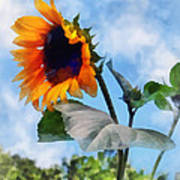 Sunflower Against The Sky Print by Susan Savad