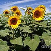 Sunflower Field Print by Kerri Mortenson