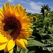 Sunflower Glow Print by Kerri Mortenson