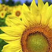 Sunflower In Field Print by Elena Elisseeva
