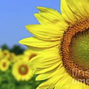 Sunflower In Sunflower Field Print by Elena Elisseeva