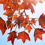 Sunlight On Red Leaves Print by Natalie Kinnear