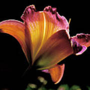 Sunlit Lily Print by Rona Black