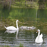 Swan Family Squared Print by Teresa Mucha