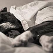 Sweet Sleeping Boxer Print by Stephanie McDowell