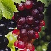 Table Grapes Closeup Print by Craig Lovell
