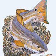 Tailing Redfish Print by Carey Chen