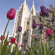 Temple Tulips Print by Chad Dutson
