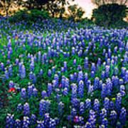 Texas Bluebonnet Field Print by Inge Johnsson