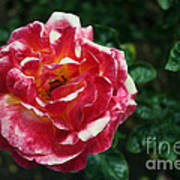 Texas Centennial Rose Print by M Valeriano