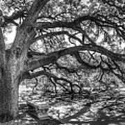 The Century Oak Print by Scott Norris