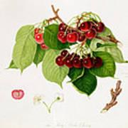 The May Duke Cherry Print by William Hooker