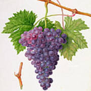 The Poonah Grape Print by William Hooker