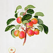 The Tartarian Crab Apple Print by William Hooker