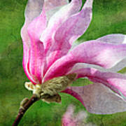 The Windblown Pink Magnolia - Flora - Tree - Spring - Garden Print by Andee Design