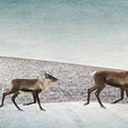 Three Caribous Print by Priska Wettstein
