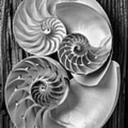 Three Chambered Nautilus In Black And White Print by Garry Gay