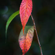 Three Leaves Of Fall Print by Brenda Bryant
