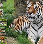 Tiger Poster 1 Print by John Hebb