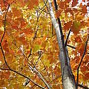 Tree Of Orange Print by Guy Ricketts