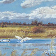 Trio Of Trumpeter Swans  Print by Jymme Golden