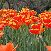 Tulips From Brooklyn Print by John Telfer