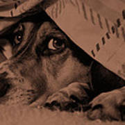 Undercover Hound Print by Paul Wash