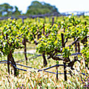 Vineyard With Young Plants Print by Susan  Schmitz
