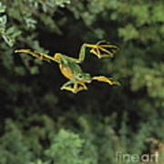 Wallaces Flying Frog Print by Stephen Dalton