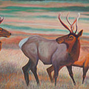 Wapiti  In Sunset Glow Print by Anastasia Savage Ealy